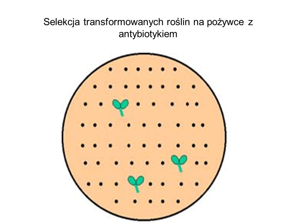 Selekcja transformowanych roślin na pożywce z antybiotykiem