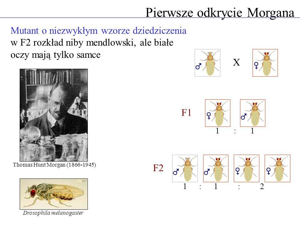 Pierwsze odkrycie Morgana X F1 F2 1:1 112:: Thomas Hunt Morgan (1866-1945) Drosophila melanogaster Mutant o niezwykłym wzorze dziedziczenia w F2 rozkł
