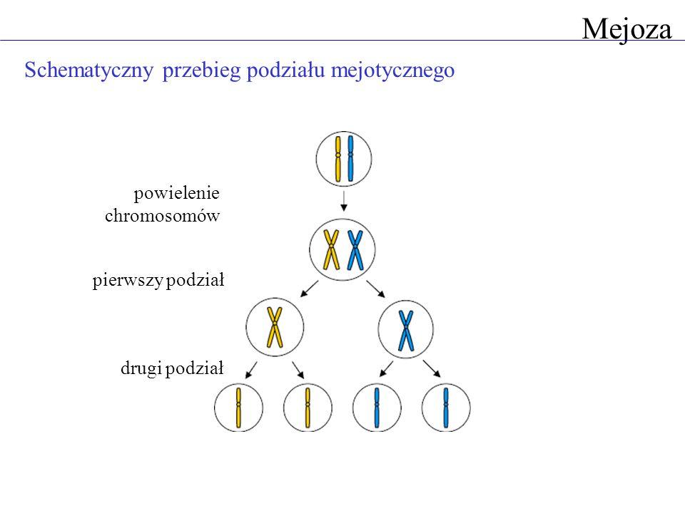 Mejoza Schematyczny przebieg podziału mejotycznego pierwszy podział drugi podział powielenie chromosomów