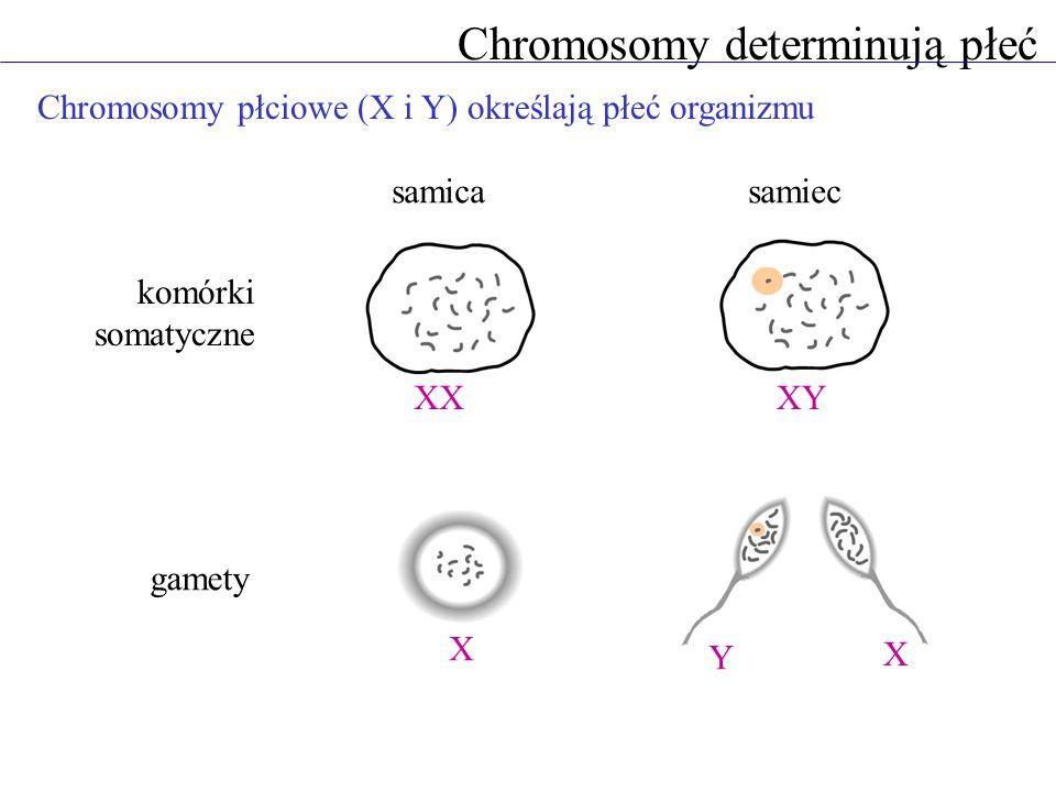 Chromosomy determinują płeć Chromosomy płciowe (X i Y) określają płeć organizmu samicasamiec XX X XY Y X komórki somatyczne gamety