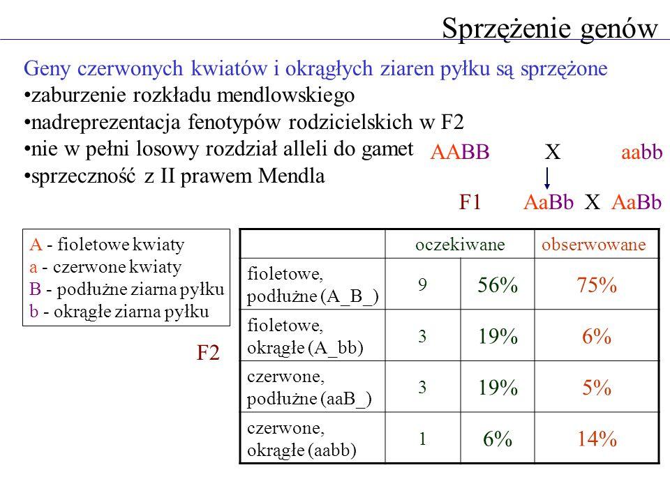 Sprzężenie genów A - fioletowe kwiaty a - czerwone kwiaty B - podłużne ziarna pyłku b - okrągłe ziarna pyłku AABBaabbX F2 oczekiwaneobserwowane fiolet