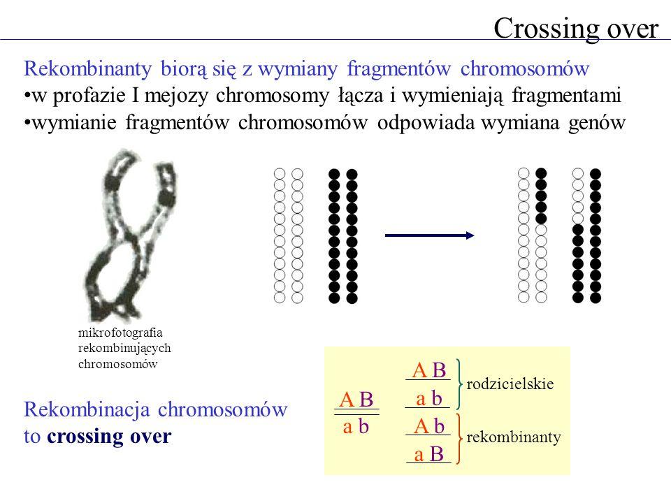 Crossing over Rekombinanty biorą się z wymiany fragmentów chromosomów w profazie I mejozy chromosomy łącza i wymieniają fragmentami wymianie fragmentó