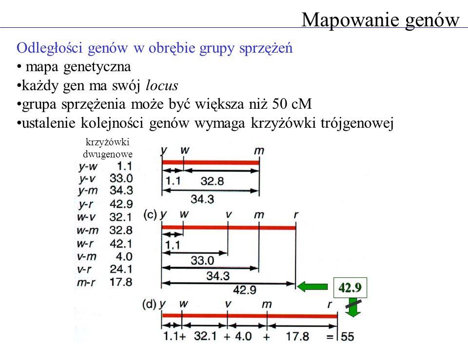 Mapowanie genów Odległości genów w obrębie grupy sprzężeń mapa genetyczna każdy gen ma swój locus grupa sprzężenia może być większa niż 50 cM ustaleni