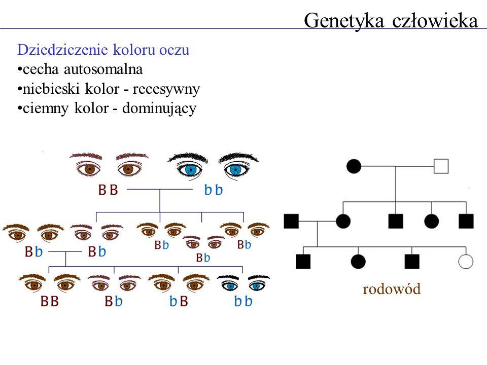 Genetyka człowieka Dziedziczenie koloru oczu cecha autosomalna niebieski kolor - recesywny ciemny kolor - dominujący rodowód