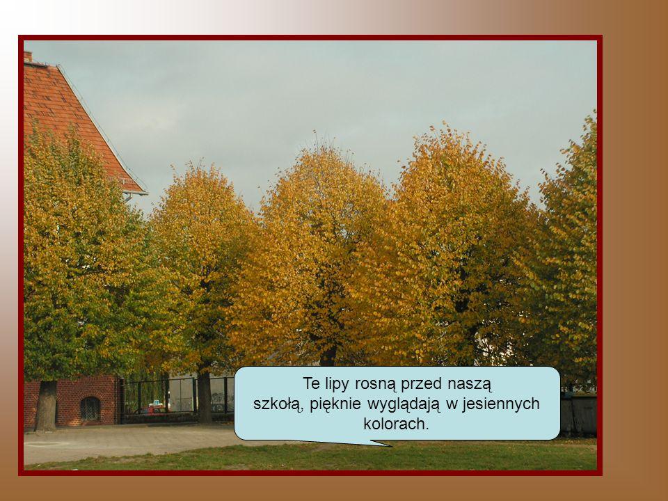 Te lipy rosną przed naszą szkołą, pięknie wyglądają w jesiennych kolorach.