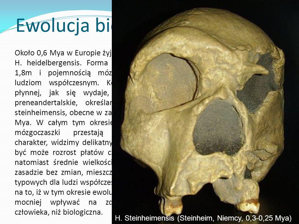 Ewolucja biologiczna Około 0,6 Mya w Europie żyją ludzie określani jako H.