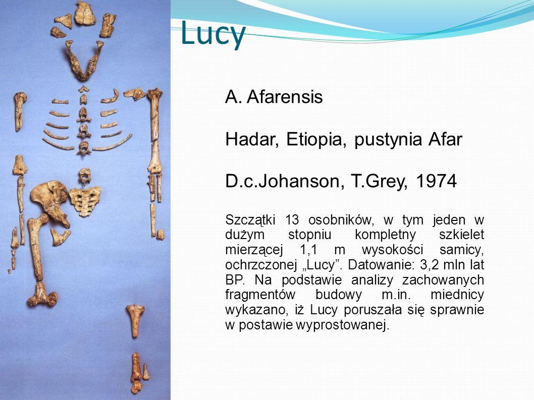 Lucy A. Afarensis Hadar, Etiopia, pustynia Afar D.c.Johanson, T.Grey, 1974 Szczątki 13 osobników, w tym jeden w dużym stopniu kompletny szkielet mierz