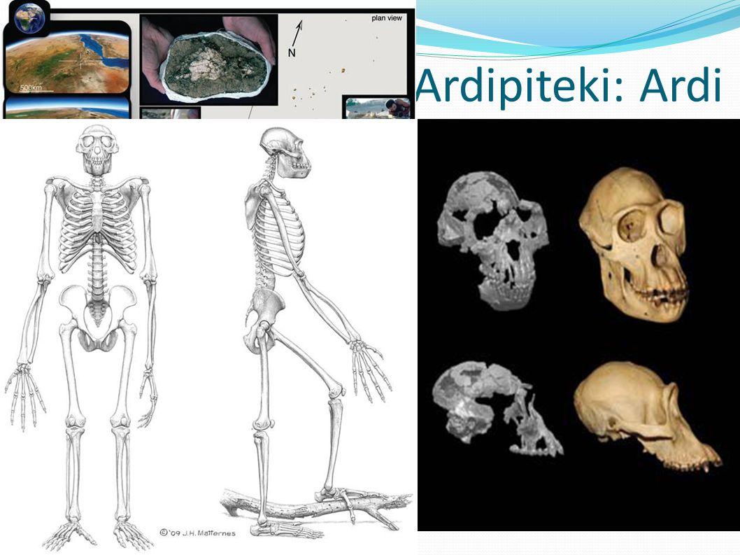 Ardipiteki: Ardi Kompletny szkielet k. Aramis, dol. Awash, reg. Afar, Etiopia 120cm, 50 kg, zamieszkiwała środowisko leśne: -sawanny nie były konieczn