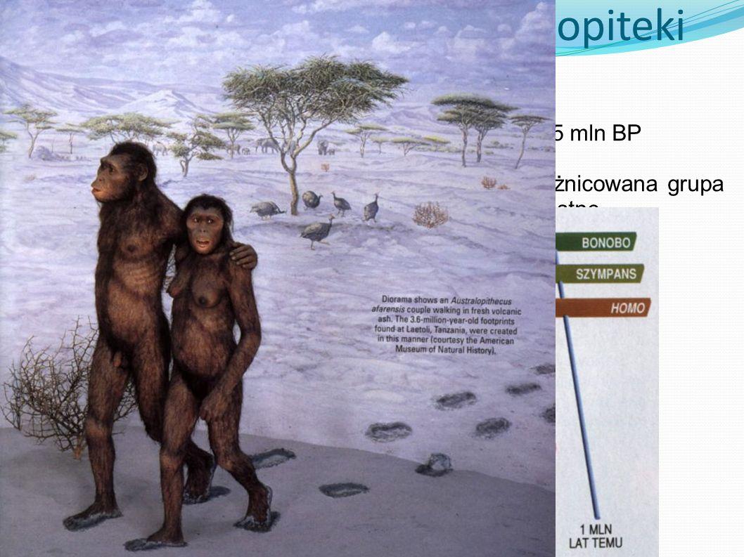 Australopiteki Od 4 do 1,5 mln BP Bardzo zróżnicowana grupa - robustne - gracylne Pełna dwunożność