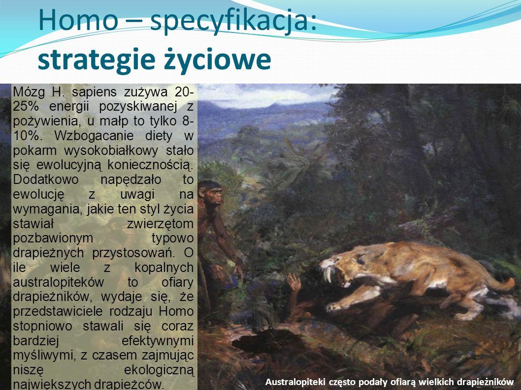 Homo – specyfikacja: strategie życiowe Mózg H. sapiens zużywa 20- 25% energii pozyskiwanej z pożywienia, u małp to tylko 8- 10%. Wzbogacanie diety w p
