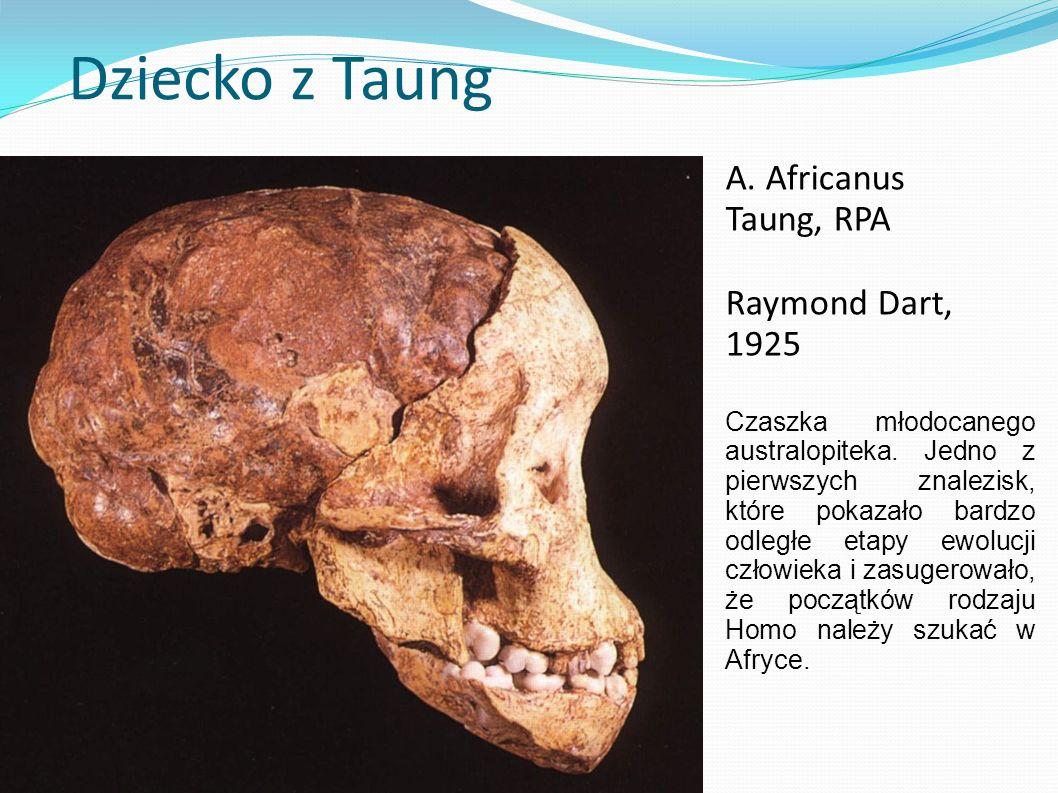 Dziecko z Taung A. Africanus Taung, RPA Raymond Dart, 1925 Czaszka młodocanego australopiteka. Jedno z pierwszych znalezisk, które pokazało bardzo odl