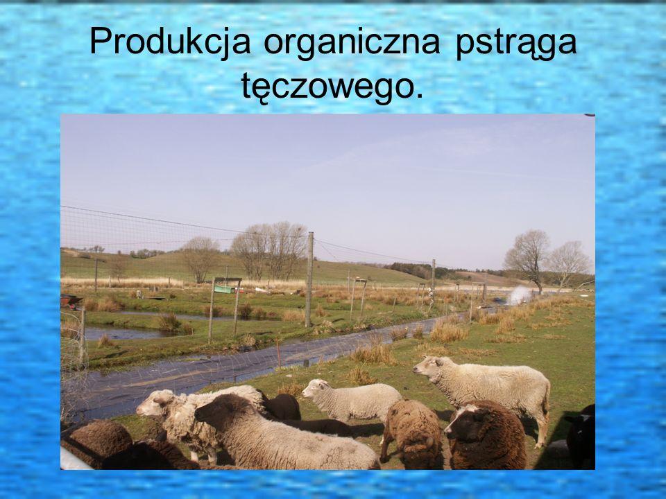 Produkcja organiczna pstrąga tęczowego.