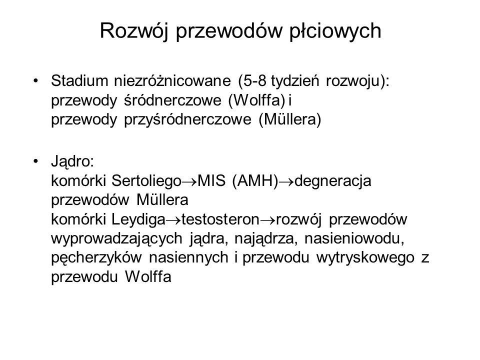 Rozwój przewodów płciowych Stadium niezróżnicowane (5-8 tydzień rozwoju): przewody śródnerczowe (Wolffa) i przewody przyśródnerczowe (Müllera) Jądro: