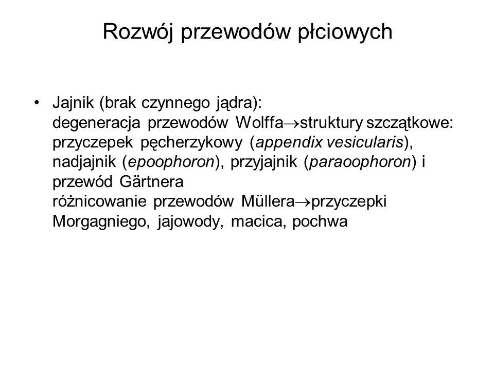 Rozwój przewodów płciowych Jajnik (brak czynnego jądra): degeneracja przewodów Wolffa struktury szczątkowe: przyczepek pęcherzykowy (appendix vesicula