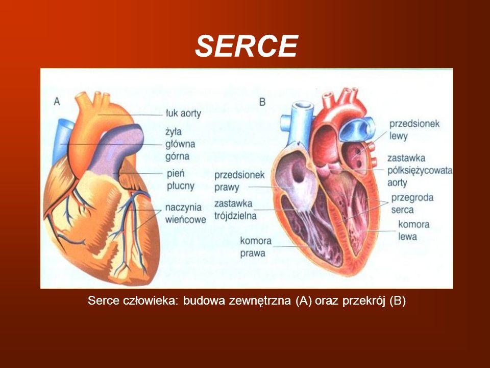 SERCE Serce człowieka: budowa zewnętrzna (A) oraz przekrój (B)