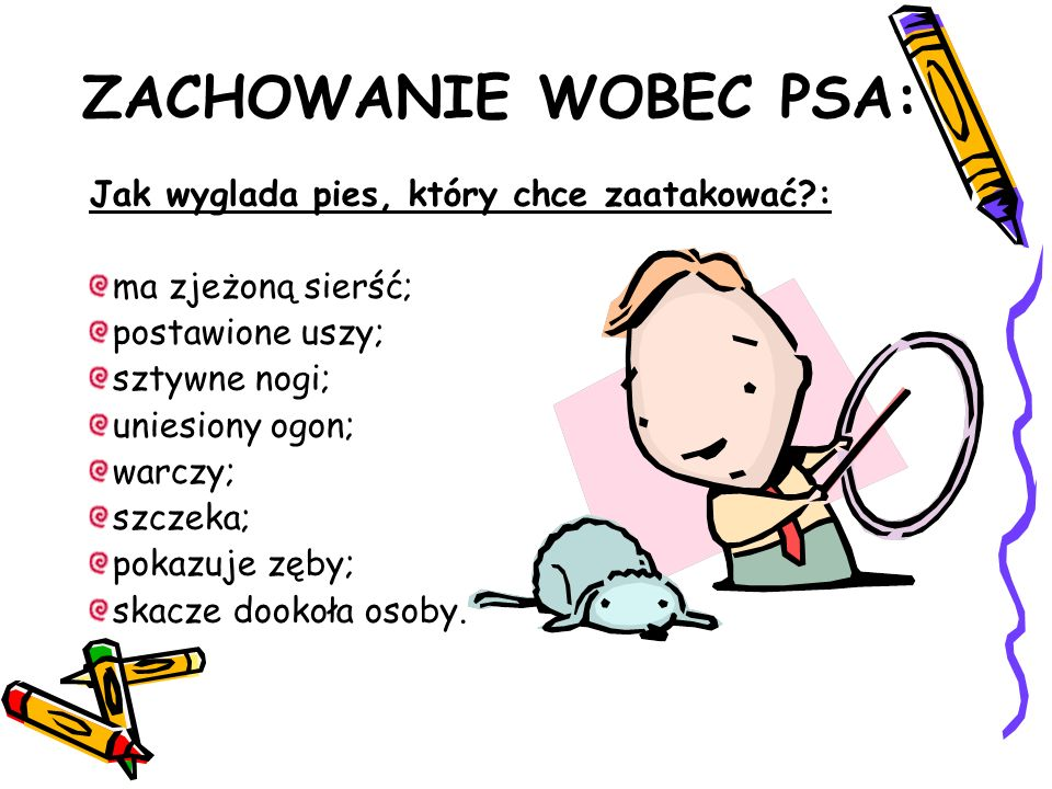 ZACHOWANIE WOBEC PSA: Jak wyglada pies, który chce zaatakować?: ma zjeżoną sierść; postawione uszy; sztywne nogi; uniesiony ogon; warczy; szczeka; pokazuje zęby; skacze dookoła osoby.