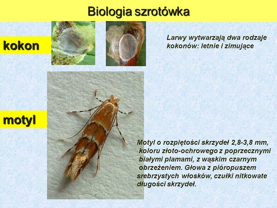 Biologia szrotówka kokon Larwy wytwarzają dwa rodzaje kokonów: letnie i zimujące motyl Motyl o rozpiętości skrzydeł 2,8-3,8 mm, koloru złoto-ochrowego z poprzecznymi białymi plamami, z wąskim czarnym obrzeżeniem.