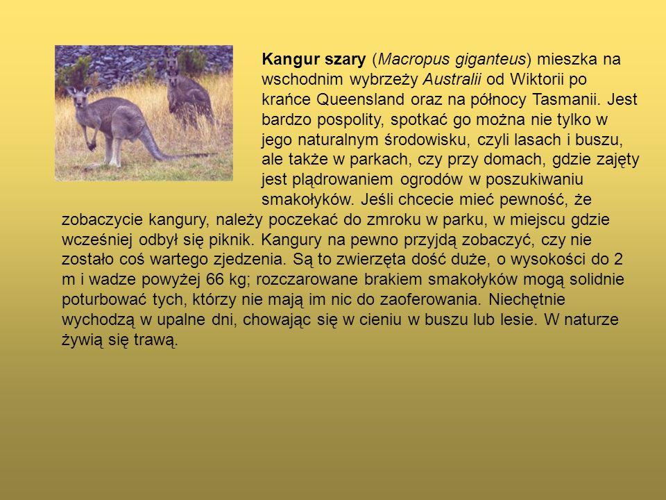 Kangur szary (Macropus giganteus) mieszka na wschodnim wybrzeży Australii od Wiktorii po krańce Queensland oraz na północy Tasmanii. Jest bardzo pospo