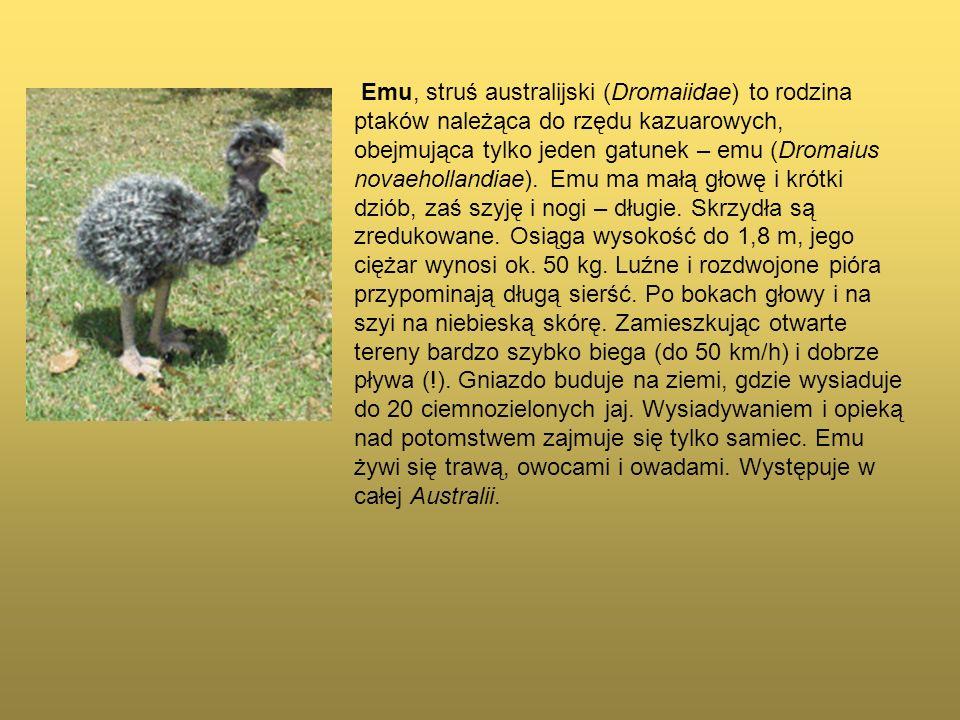 Emu, struś australijski (Dromaiidae) to rodzina ptaków należąca do rzędu kazuarowych, obejmująca tylko jeden gatunek – emu (Dromaius novaehollandiae).