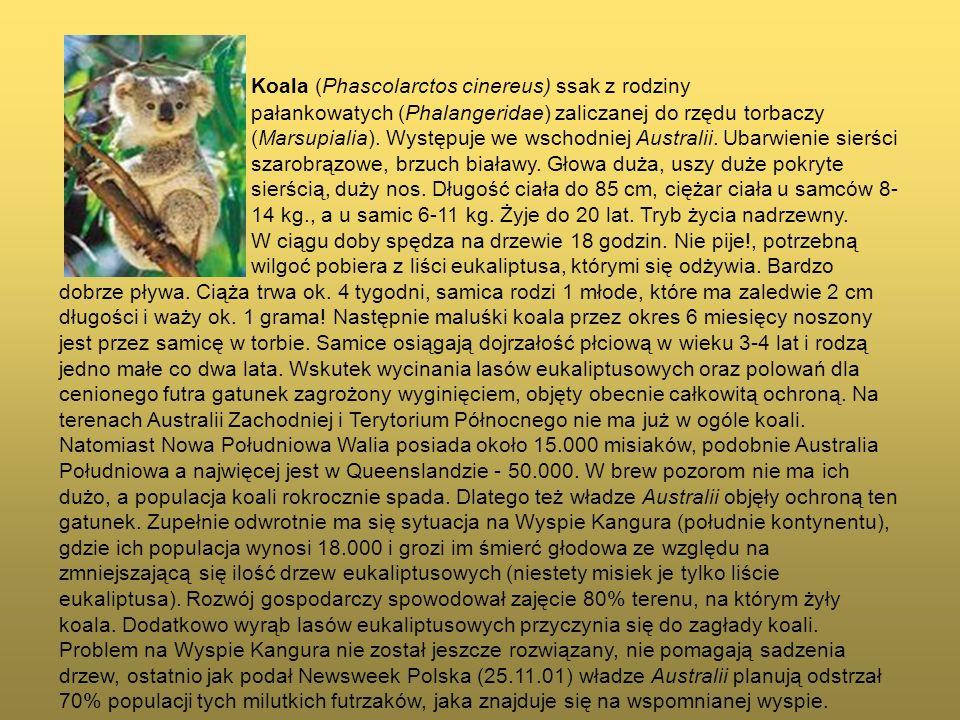 Koala (Phascolarctos cinereus) ssak z rodziny pałankowatych (Phalangeridae) zaliczanej do rzędu torbaczy (Marsupialia). Występuje we wschodniej Austra