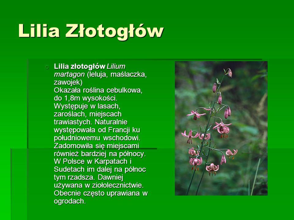Lilia Złotogłów o Lilia złotogłów Lilium martagon (leluja, maślaczka, zawojek) Okazała roślina cebulkowa, do 1,8m wysokości.