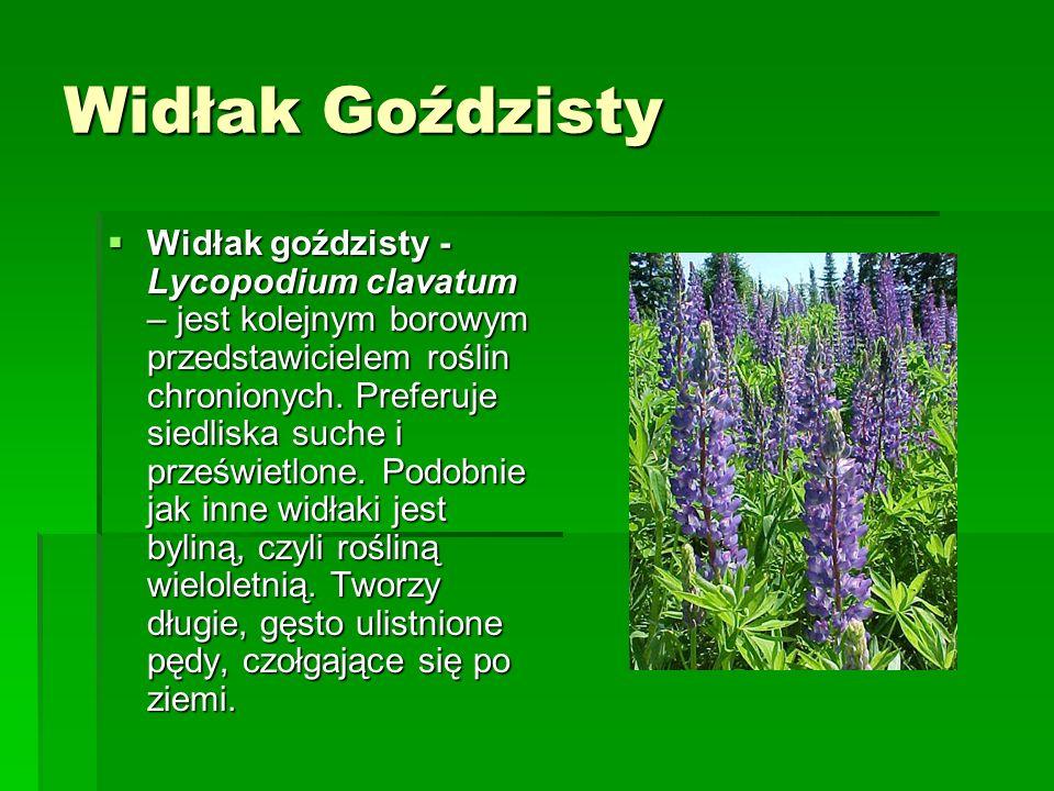 Widłak Goździsty Widłak goździsty - Lycopodium clavatum – jest kolejnym borowym przedstawicielem roślin chronionych.