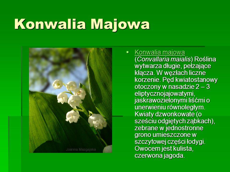 Konwalia Majowa Konwalia majowa (Convallaria maialis) Roślina wytwarza długie, pełzające kłącza.