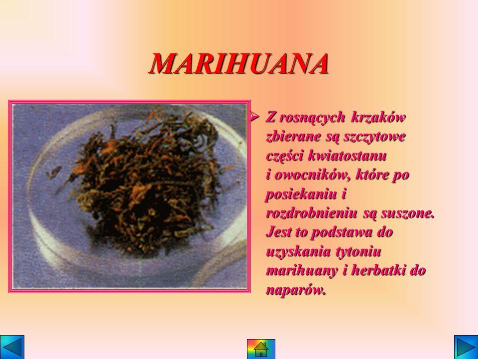 KONOPIE INDYJSKIE Kilka określeń tej najstarszej rośliny narkotycznej to: Marihuana, kif, Ganja, Zamal, Cherus, Haszysz.