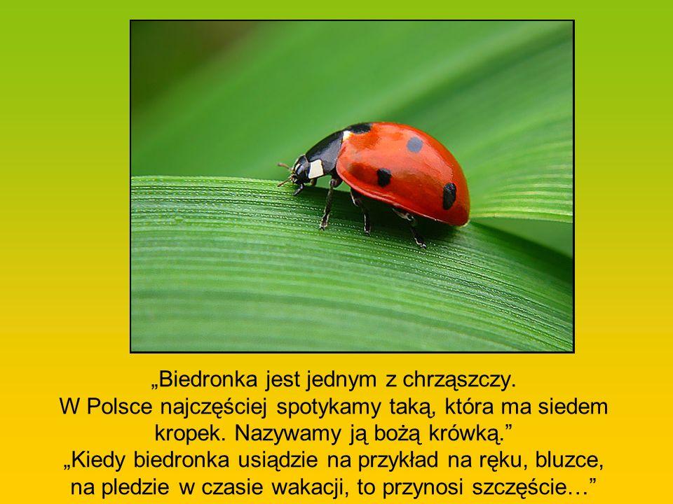 Biedronka jest jednym z chrząszczy. W Polsce najczęściej spotykamy taką, która ma siedem kropek. Nazywamy ją bożą krówką. Kiedy biedronka usiądzie na