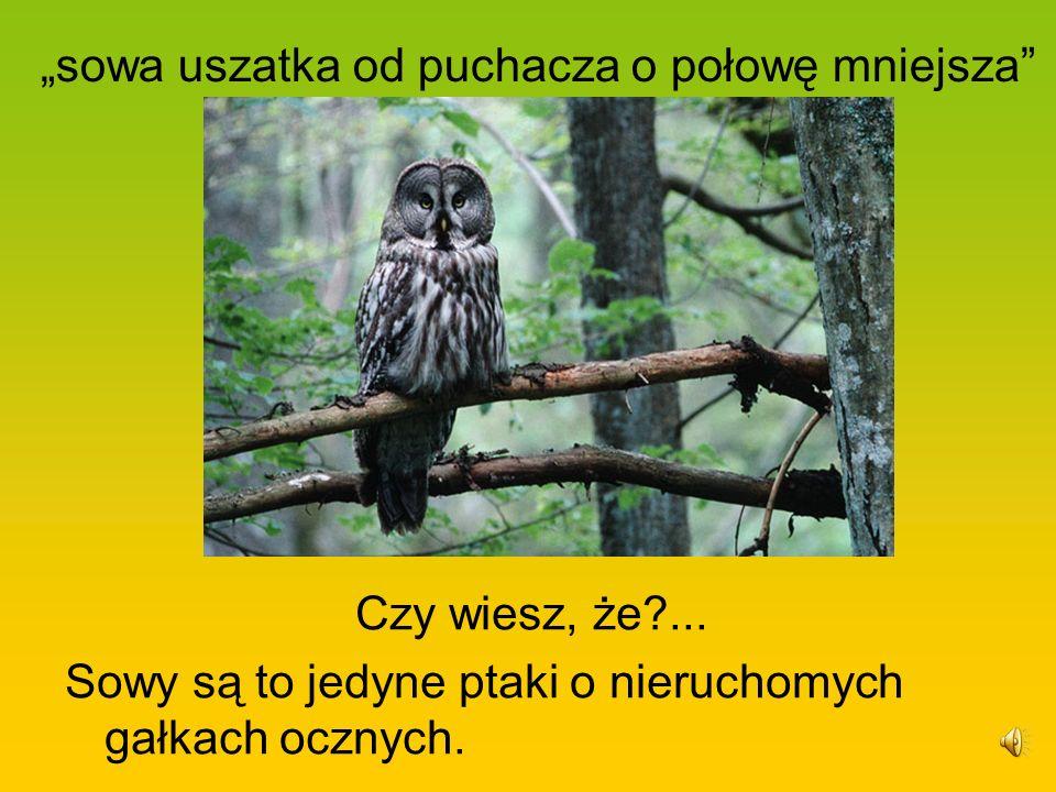 sowa uszatka od puchacza o połowę mniejsza Czy wiesz, że?... Sowy są to jedyne ptaki o nieruchomych gałkach ocznych.