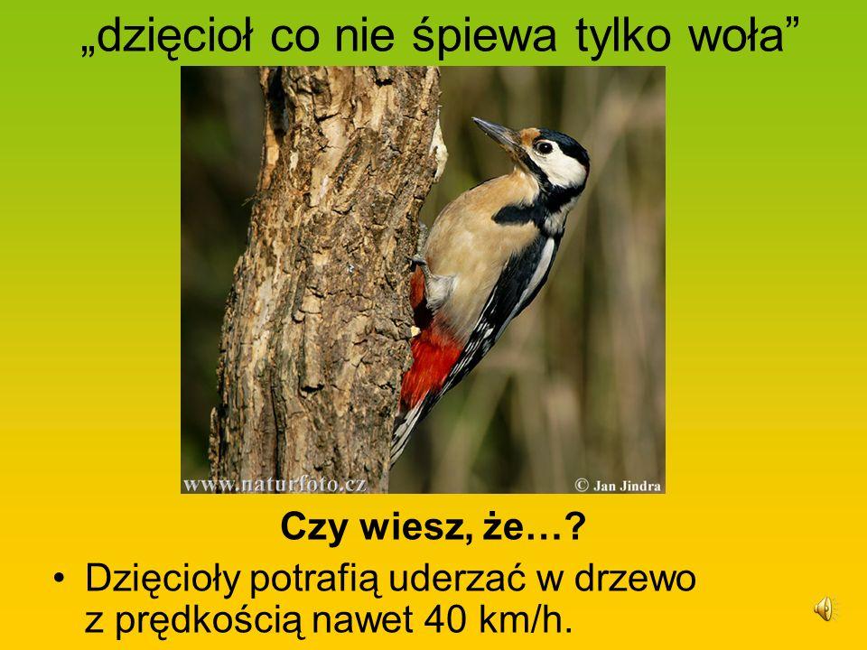 dzięcioł co nie śpiewa tylko woła Czy wiesz, że…? Dzięcioły potrafią uderzać w drzewo z prędkością nawet 40 km/h.