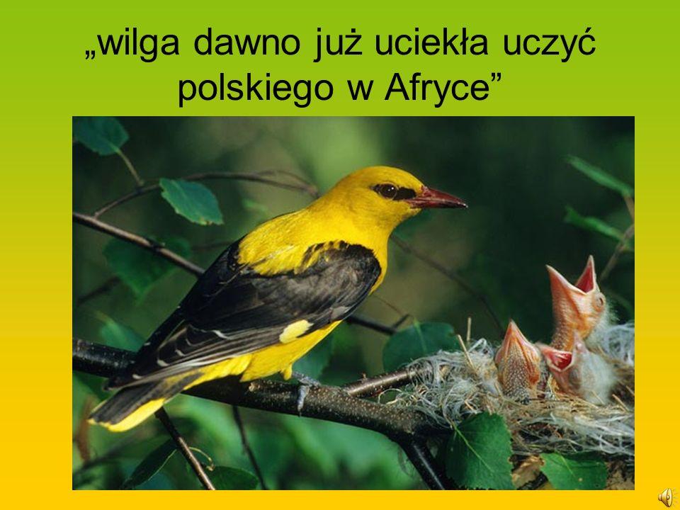 wilga dawno już uciekła uczyć polskiego w Afryce