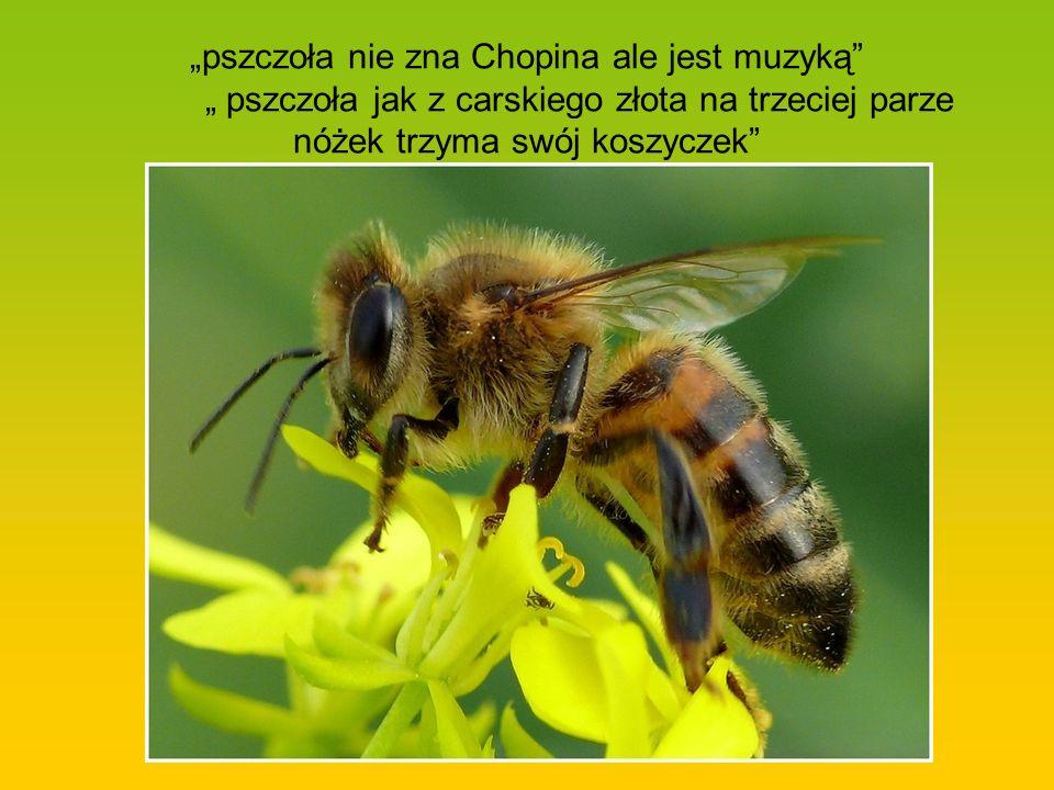 pszczoła nie zna Chopina ale jest muzyką pszczoła jak z carskiego złota na trzeciej parze nóżek trzyma swój koszyczek