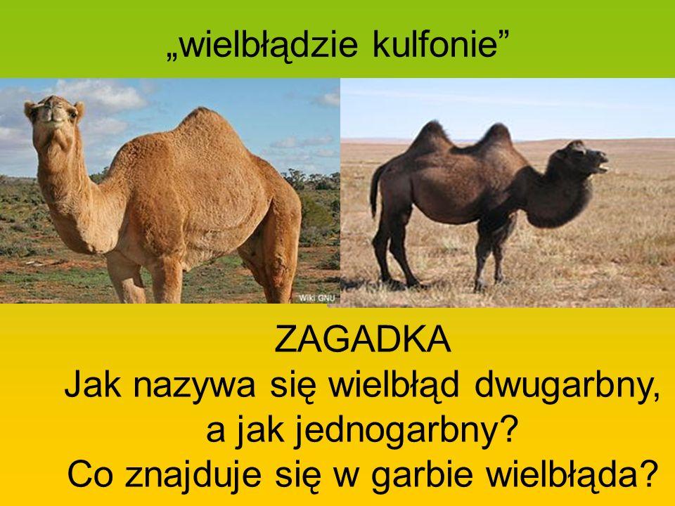 wielbłądzie kulfonie ZAGADKA Jak nazywa się wielbłąd dwugarbny, a jak jednogarbny? Co znajduje się w garbie wielbłąda?