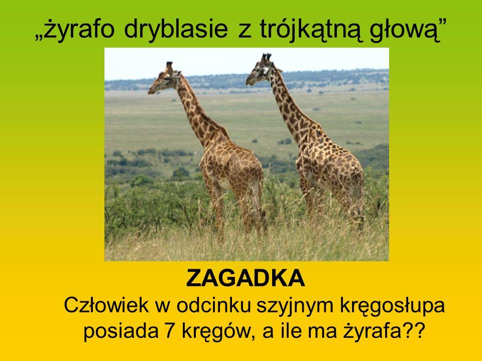 żyrafo dryblasie z trójkątną głową ZAGADKA Człowiek w odcinku szyjnym kręgosłupa posiada 7 kręgów, a ile ma żyrafa??