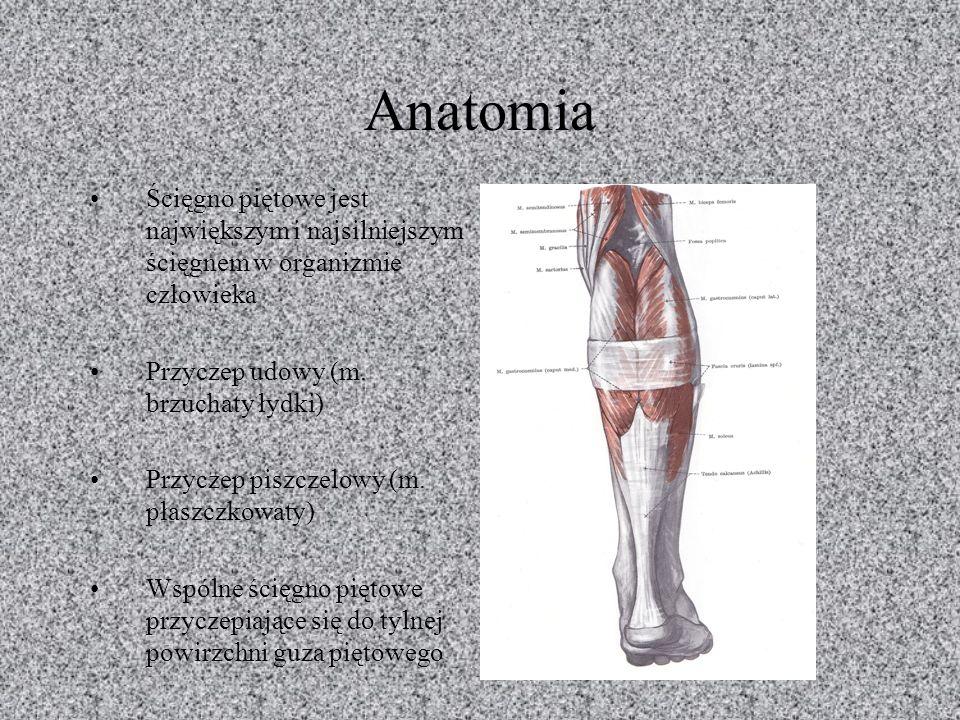 Anatomia Ścięgno piętowe jest największym i najsilniejszym ścięgnem w organizmie człowieka Przyczep udowy (m. brzuchaty łydki) Przyczep piszczelowy (m