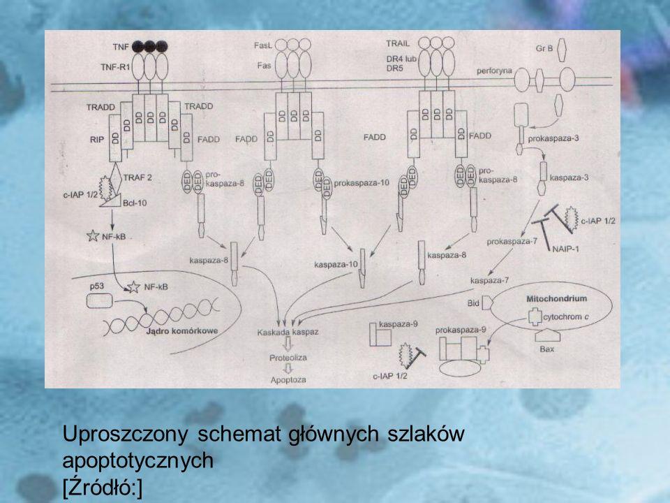 Zablokowanie aktywności antyapoptotycznej surwiwiny poprzez wprowadzenie antysensu do komórek raka wątroby Wprowadzenie do komórek nowotworowych genu kodującego inhibitor NFκB, czyli IκB Wprowadzenie do komórek raka trzustki plazmidu pc DNA 3.1(+)/r – Caspase-3 (plazmid z rearanżowanymi podjednostkami kaspazy 3)