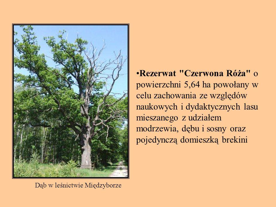 Rezerwat Czerwona Róża o powierzchni 5,64 ha powołany w celu zachowania ze względów naukowych i dydaktycznych lasu mieszanego z udziałem modrzewia, dębu i sosny oraz pojedynczą domieszką brekini Dąb w leśnictwie Międzyborze