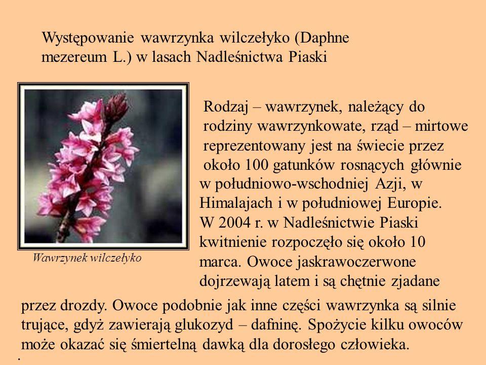 Występowanie wawrzynka wilczełyko (Daphne mezereum L.) w lasach Nadleśnictwa Piaski Wawrzynek wilczełyko.