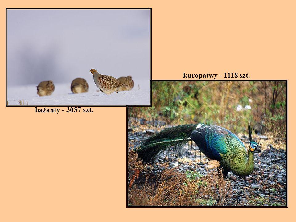 bażanty - 3057 szt. kuropatwy - 1118 szt.