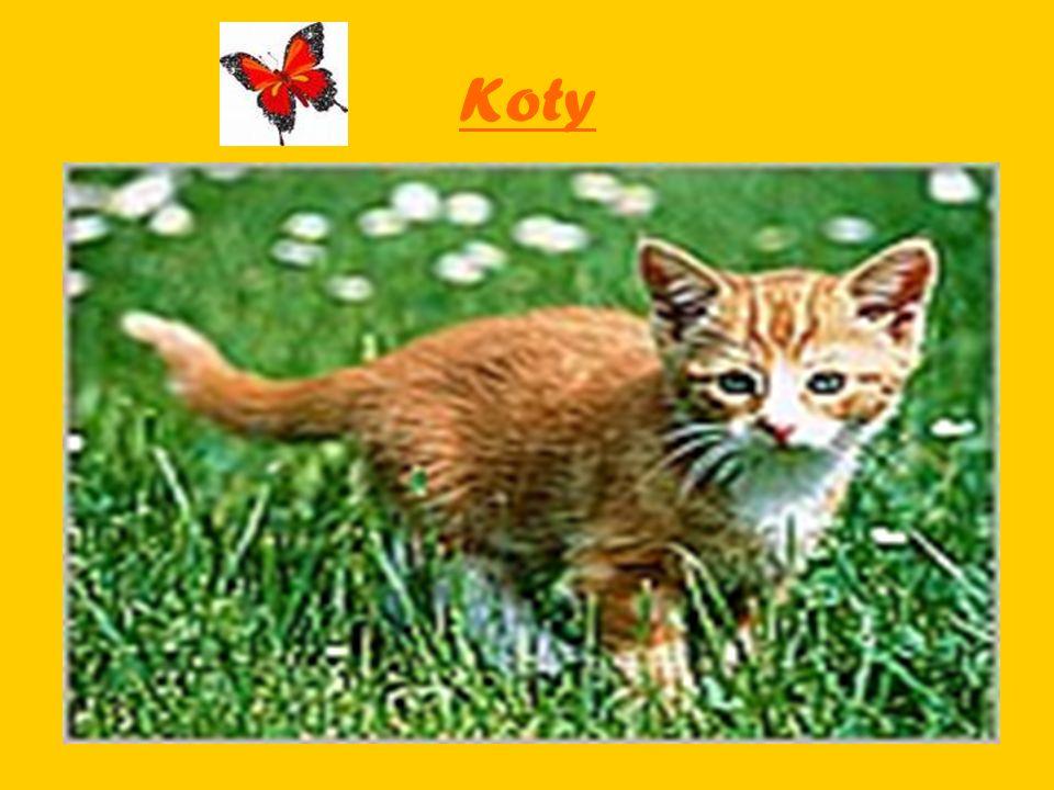 Du ż e i ma ł e koty Koty domowe należą do tej samej rodziny zwierząt, do której zaliczamy też niektóre dzikie zwierzęta, np..: lwy, tygrysy małe, i gepardy – jest to wielka, kocia rodzina.