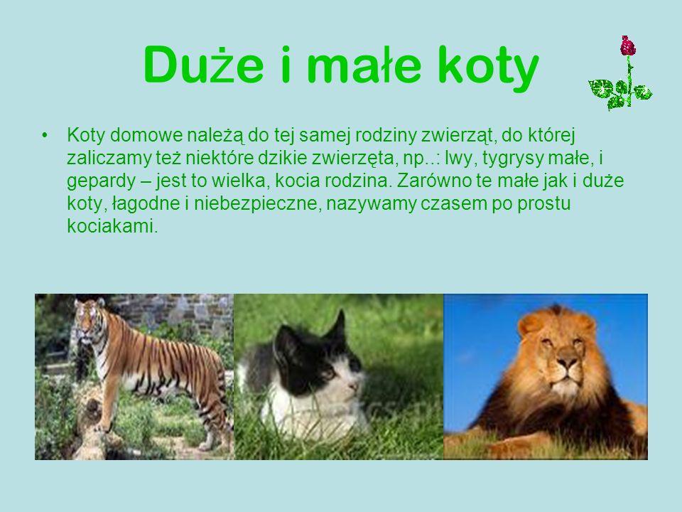Du ż e i ma ł e koty Koty domowe należą do tej samej rodziny zwierząt, do której zaliczamy też niektóre dzikie zwierzęta, np..: lwy, tygrysy małe, i g