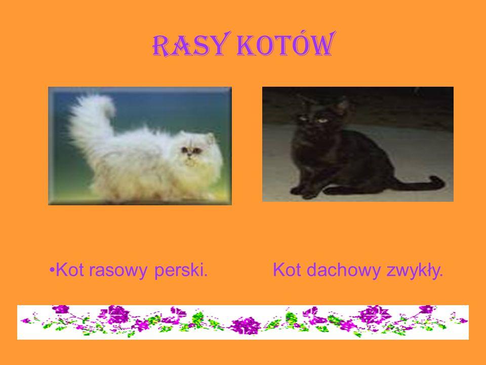 Rasy kotów Kot rasowy perski. Kot dachowy zwykły.