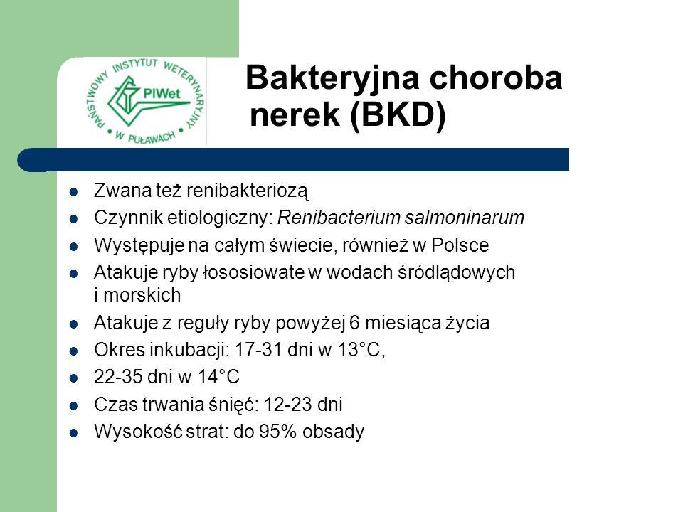 Bakteryjna choroba nerek (BKD) Zwana też renibakteriozą Czynnik etiologiczny: Renibacterium salmoninarum Występuje na całym świecie, również w Polsce