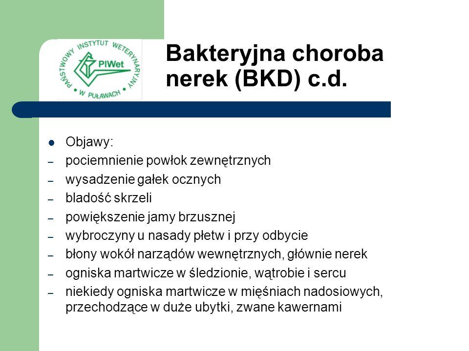 Bakteryjna choroba nerek (BKD) c.d. Objawy: – pociemnienie powłok zewnętrznych – wysadzenie gałek ocznych – bladość skrzeli – powiększenie jamy brzusz