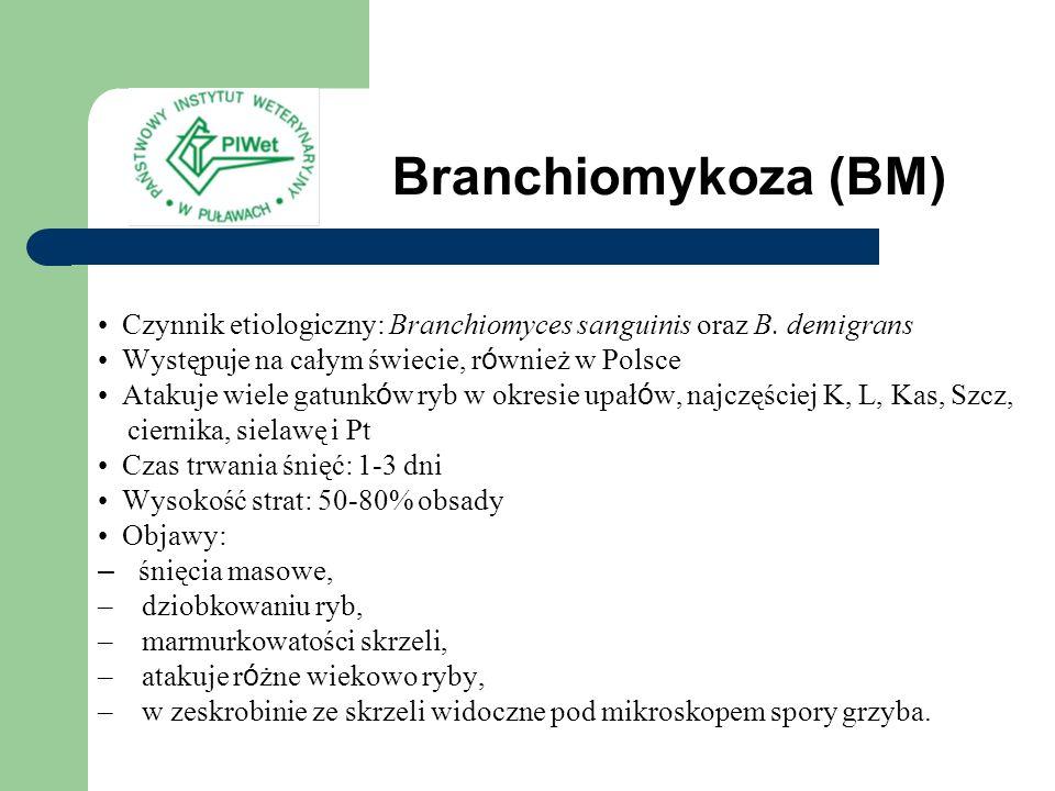 Branchiomykoza (BM) Czynnik etiologiczny: Branchiomyces sanguinis oraz B. demigrans Występuje na całym świecie, r ó wnież w Polsce Atakuje wiele gatun