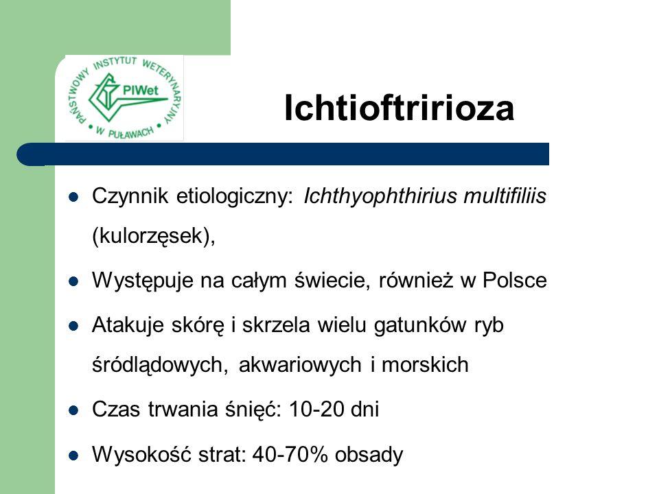 Ichtioftririoza Czynnik etiologiczny: Ichthyophthirius multifiliis (kulorzęsek), Występuje na całym świecie, również w Polsce Atakuje skórę i skrzela