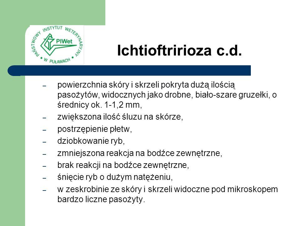 Ichtioftririoza c.d. – powierzchnia skóry i skrzeli pokryta dużą ilością pasożytów, widocznych jako drobne, biało-szare gruzełki, o średnicy ok. 1-1,2