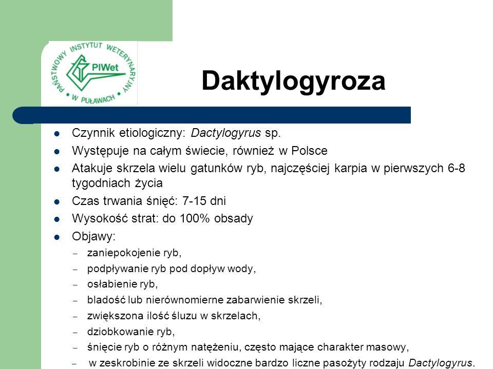 Daktylogyroza Czynnik etiologiczny: Dactylogyrus sp. Występuje na całym świecie, również w Polsce Atakuje skrzela wielu gatunków ryb, najczęściej karp