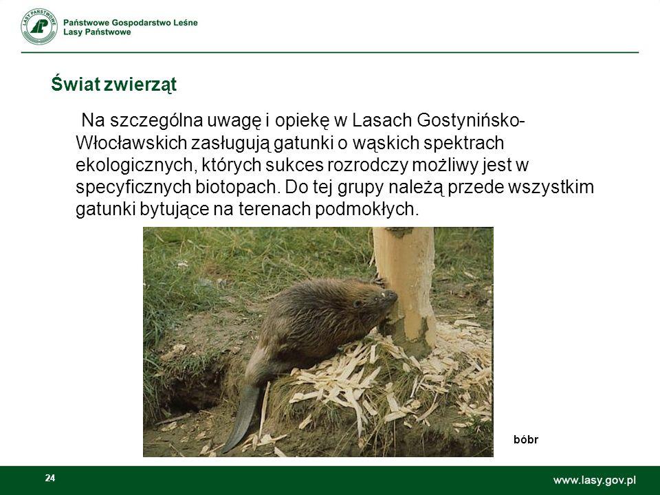 24 Świat zwierząt Na szczególna uwagę i opiekę w Lasach Gostynińsko- Włocławskich zasługują gatunki o wąskich spektrach ekologicznych, których sukces